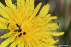 Selbst in der Insektenwelt ist der Frühling angekommen ....